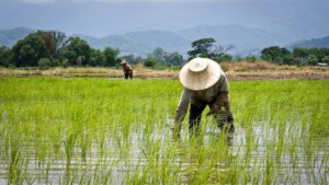 Anti-GMO groups draw FDA rebuke over misrepresentation of Golden Rice nutrition