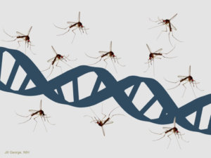 Synthetic biology mosquitoes: Pioneering solution emerges to counter fears over using genetic engineering to control Zika