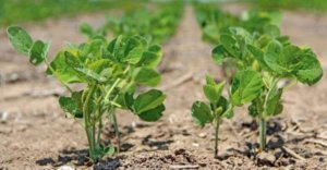 Boosting crop yields by using genetic engineering to help plants discard natural toxins