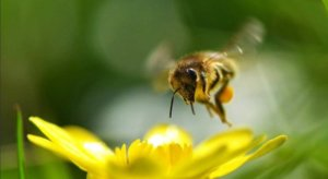 Primer on bees, varroa mites and the 'Beepocalypse' that never was