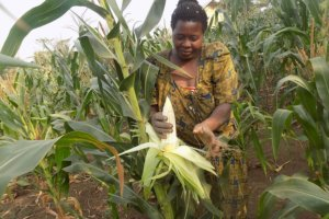 Uncertain future of Uganda's GMO law spurs anxiety, confusion among biotech supporters
