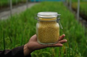 Golden Rice Part 1: The story of a GMO crop that could save 2 billion lives