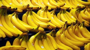 Viewpoint: Our favorite Cavendish banana may be heading towards extinction—Scientists say only a biotech solution, blocked by anti-GMO activists, can save it