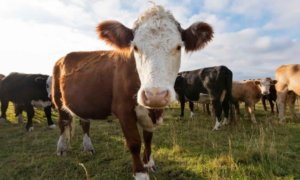 Fighting climate change with gene editing: Can we slash cows' methane production?