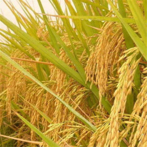 Golden Rice: The GMO crop loved by humanitarians, opposed by Greenpeace