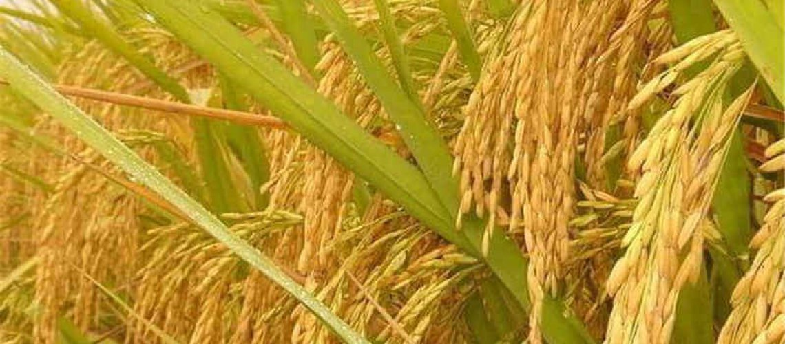 pcs-natural-golden-rice-plant-non-gmo-heirloom-high-disease-resistancehigh-yield-crop-high-quality-jpg-q-.jpg